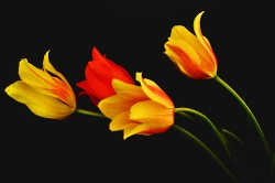 """Tulips Seeking Light"" by Terri Parent"