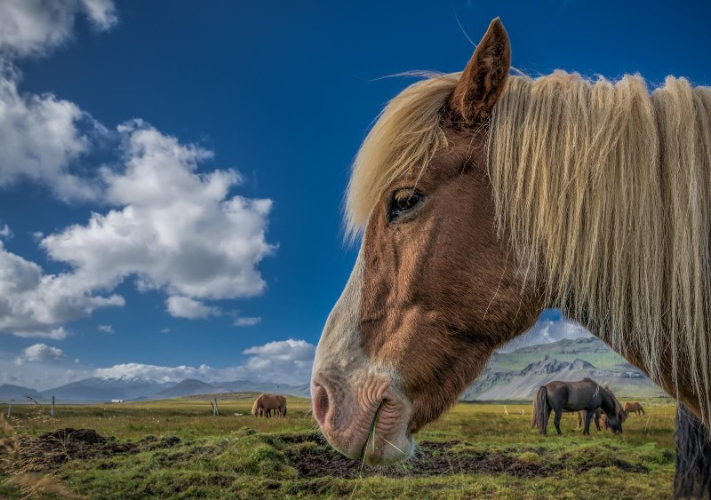 """Icelandic Sheephorse, with Snack"" by William Toti"