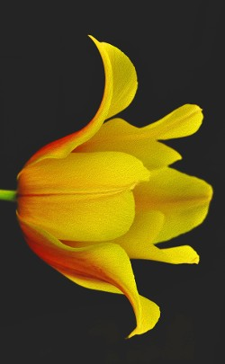 """Yellow Tulip"" by Terri Parent"